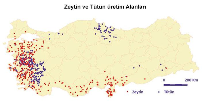Zeytin ve Tütün Üretim Alanları Haritası
