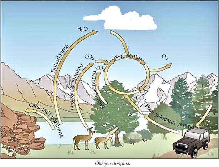 Oksijen Döngüsü