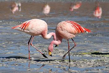 Flamingo tuz gölü