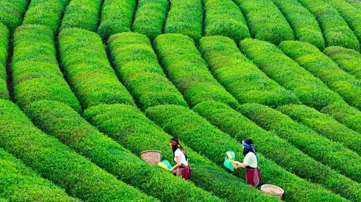 Rize çay tarımı