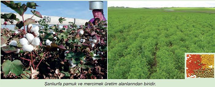 Şanlıurfa pamuk üretimi