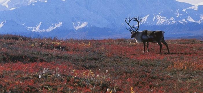 Tundra Bitki Örtüsü