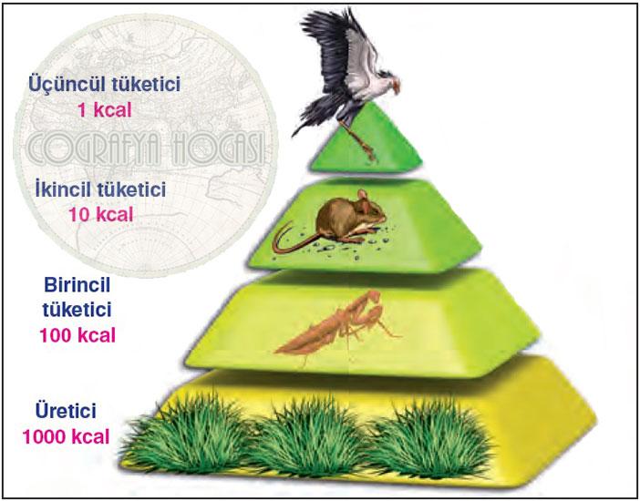 Enerji (Besin) Piramidi