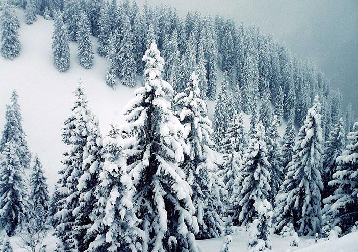 İğne Yapraklı Orman Biyomu nedir