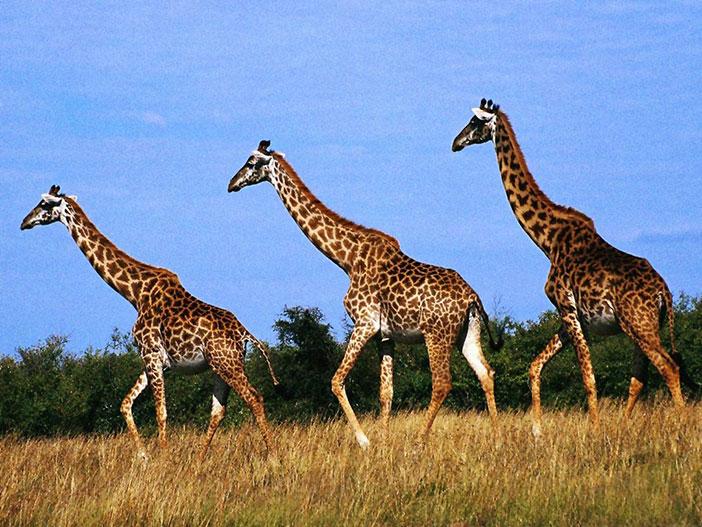 Zürafa nedir